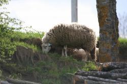 mouton.jpg