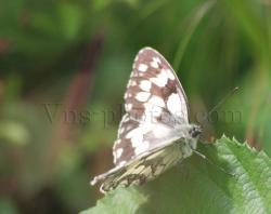 papillon-6.jpg