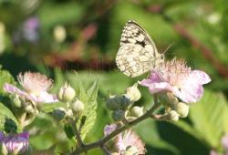 papillon-7.jpg