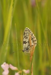 papillon-8.jpg