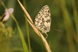 papillon-9.jpg
