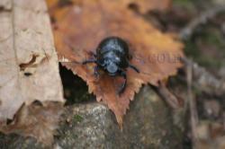 scarabe.jpg